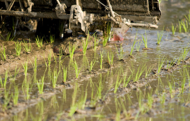 SAIRISI: Sustainable Italian Rice Project picture