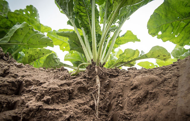 The European Sugar Beet Project picture