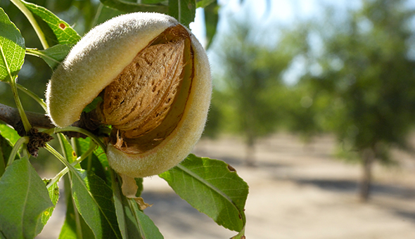 Business Case: Sustainable Management in Almonds picture