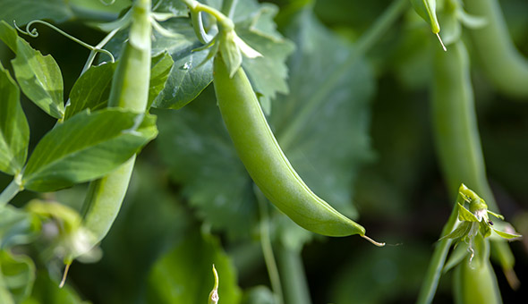 Birds Eye pea harvest verified as first Farm Sustainability Assessment (FSA) Gold Level supply chain in the UK picture