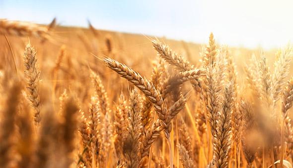 BASF, Boortmalt and SAI Platform partner for sustainable barley production picture