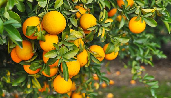 Florida Orange Sustainability Accelerator picture